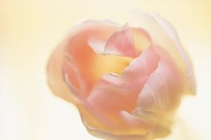 花(チューリップ)の写真素材 [FYI03237685]