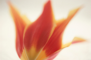 花(チューリップ)の写真素材 [FYI03237702]