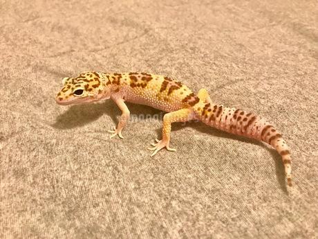 爬虫類の写真素材 [FYI03237843]