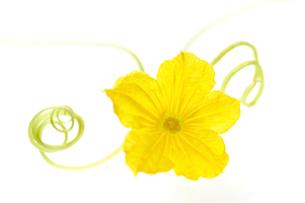 キュウリの花の写真素材 [FYI03237949]