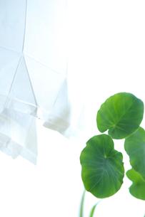 さといもの葉と牛乳パックの写真素材 [FYI03238545]