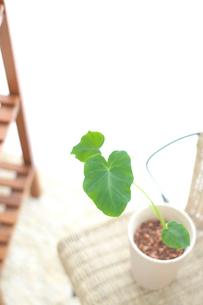 さといもの葉の植木の写真素材 [FYI03238550]