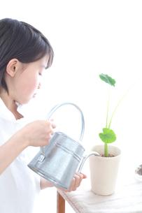さといもの葉に水をあげる女の子の写真素材 [FYI03238551]