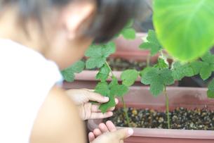 おくらの葉をさわっている女の子の写真素材 [FYI03238604]