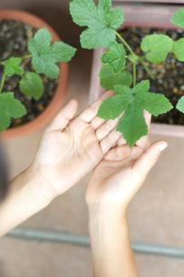 おくらの葉をさわっている女の子の手元の写真素材 [FYI03238609]