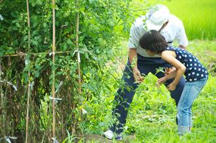 プチトマトを収穫する親子の写真素材 [FYI03238631]
