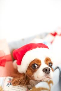 サンタクロースの帽子をかぶる犬の写真素材 [FYI03238641]