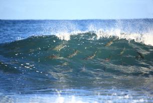 サケと波しぶきの写真素材 [FYI03239166]