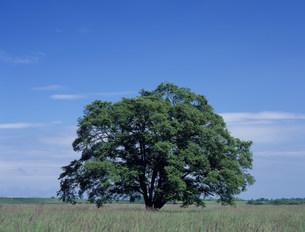 はるにれの木の写真素材 [FYI03239290]