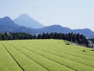 茶畑と開聞岳の写真素材 [FYI03239292]