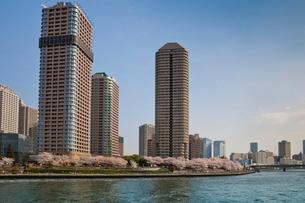 桜と高層マンション群と隅田川の写真素材 [FYI03239527]