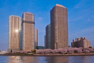 桜と高層マンション群と太陽の反射の写真素材 [FYI03239535]