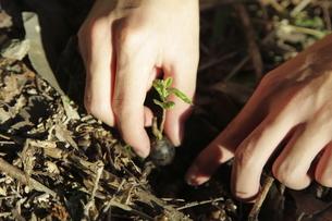 発芽したクヌギを植えるの写真素材 [FYI03239609]