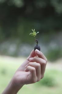 発芽したクヌギを持つ手の写真素材 [FYI03239613]