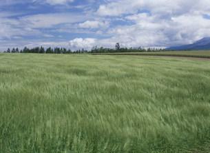 大地の麦畑に浮かぶ白い雲と青い空の写真素材 [FYI03240629]