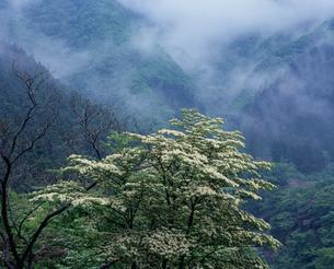 山霧とヤマボウシの花の写真素材 [FYI03240655]