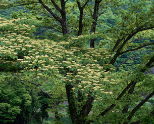 木立と白いヤマボウシの花の写真素材 [FYI03240660]