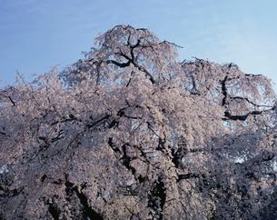枝垂れ桜の写真素材 [FYI03240663]