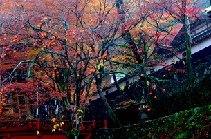 紅葉と残り柿の旧家の写真素材 [FYI03240680]