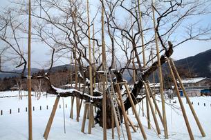 残雪の中雪つりと支柱に支えられた薄墨桜の大木の写真素材 [FYI03240757]