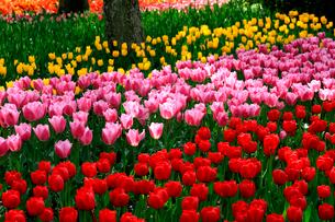木曽三川公園のチューリップ園の写真素材 [FYI03240778]