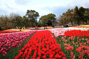 木曽三川公園のチューリップ園の写真素材 [FYI03240782]