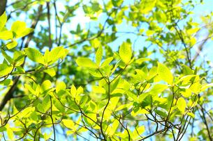 青空に映える新緑の芽吹きの写真素材 [FYI03240785]