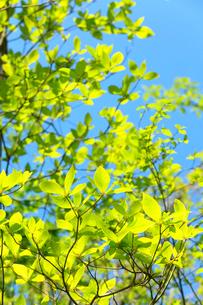 青空に映える新緑の芽吹きの写真素材 [FYI03240787]