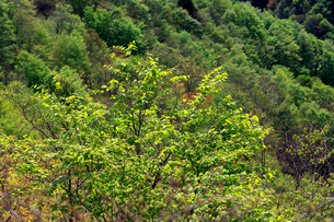山肌を背景に新緑の芽吹きが美しい木々の写真素材 [FYI03240790]
