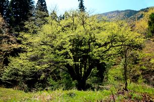 山間の中新緑がまぶしい一本の大木の写真素材 [FYI03240792]