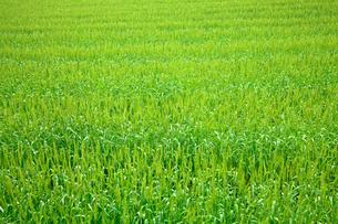 風に揺れる緑の麦の穂の写真素材 [FYI03240793]