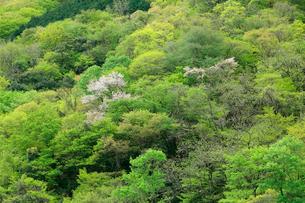 山肌の芽吹きと山桜が美しい新緑の山の写真素材 [FYI03240799]