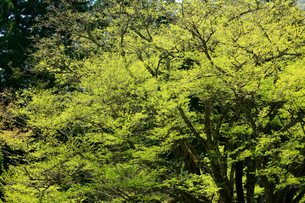 新緑の芽吹きが綺麗な大木の写真素材 [FYI03240802]