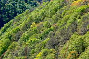 山肌を背景に新緑の芽吹きが美しい木々の写真素材 [FYI03240807]