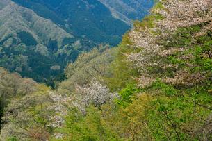 山間に咲く遅咲きの山桜の写真素材 [FYI03240811]