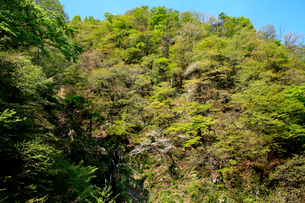 新緑の芽吹きが美しい山肌の木々の写真素材 [FYI03240816]