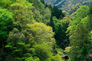 芽吹きの若葉が美しい山間の春の写真素材 [FYI03240817]