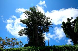 青空と白い雲の下そびえる大木の樹木の写真素材 [FYI03240824]