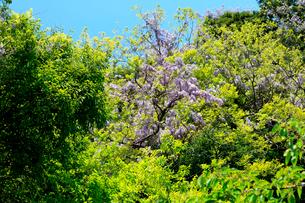 青空の下新緑の芽吹きと山藤の花の写真素材 [FYI03240826]