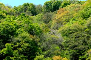 芽吹きが綺麗な新緑の山の写真素材 [FYI03240836]