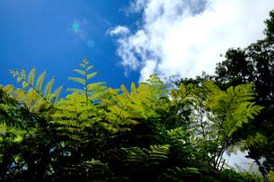 シダの葉を照らす青空と白い雲の写真素材 [FYI03240843]