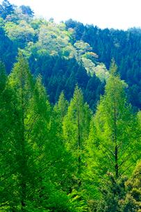 唐松の芽吹きが美しい奥長良の春の写真素材 [FYI03240880]