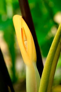 水田に作付けされた里芋の葉と里芋の花の写真素材 [FYI03240893]
