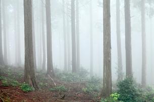 山霧が檜の木立に流れる初夏の池田山の写真素材 [FYI03240894]