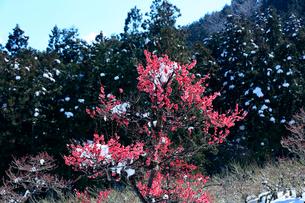 紅梅の花と檜の木立に残雪が残る美しい山里の風景の写真素材 [FYI03240910]