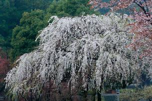山肌を背景に霧雨に濡れる山桜の花の写真素材 [FYI03240911]