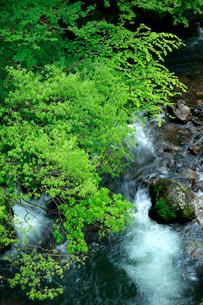 新緑の芽吹きと清流の流れが美しい渓谷の春の写真素材 [FYI03240928]