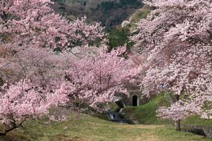 芝の芽吹きと爛漫の桜の花が綺麗な霞間ヶ渓公園の春の写真素材 [FYI03240929]