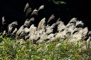 暗い背景をバックに秋の日差しと風にゆれるススキの穂の写真素材 [FYI03240947]