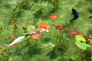 湧き水が美しいモネの池を回遊する2匹の鯉と睡蓮の葉の写真素材 [FYI03240955]